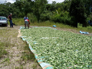 http://stopthedrugwar.com/files/coca-leaves-drying-by-highway.jpg