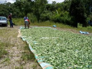 coca leaves drying by highway