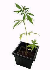 http://stopthedrugwar.org/files/littlemarijuanaplant.jpg