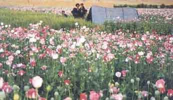 http://stopthedrugwar.com/files/marja-opium-field.jpg